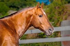 Лошадь портрета золот-красная в paddock Стоковые Фотографии RF