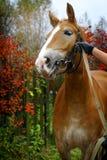 лошадь предпосылки осени Стоковое Изображение
