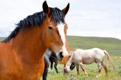 лошадь проекта залива Стоковая Фотография