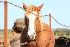 Лошадь проекта Palomino за загородкой Стоковые Изображения