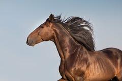 Лошадь рысака залива стоковые фото