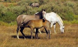 лошадь семьи Стоковое Изображение RF