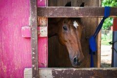 Лошадь смотря вне Стоковые Фотографии RF