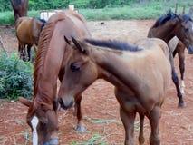 Лошадь собранная на фронте в выгоне стоковое изображение rf
