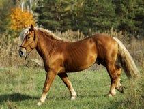Лошадь стоя на зеленой траве против предпосылки леса осени стоковые изображения