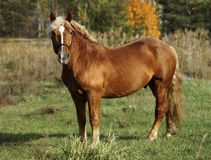 Лошадь стоя на зеленой траве против предпосылки леса осени стоковое фото rf