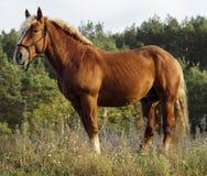 Лошадь стоя на зеленой траве против предпосылки леса осени стоковые фото