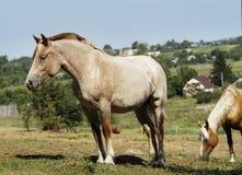 Лошадь стоя на зеленой траве стоковые фотографии rf