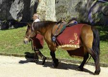 Лошадь с римским держателем стоковая фотография rf