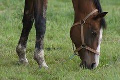 лошадь травы Стоковое Изображение