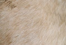 лошадь шерсти Стоковое Фото