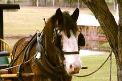 лошадь экипажа Стоковые Фото