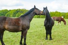 Лошадь эмоции лошади, коричневых и черных на луге Стоковые Фотографии RF