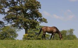 лошадь 2 каштанов Стоковое Изображение RF