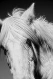 лошадь Стоковые Изображения