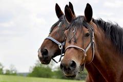 лошадь Стоковое Изображение RF