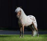 Лошадь Appaloosa американская миниатюрная стоя на зеленой траве Стоковое Изображение RF