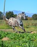 Лошадь Appaloosa в paddock стоковое фото rf
