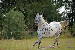 Лошадь Appaloosa в paddock стоковые изображения