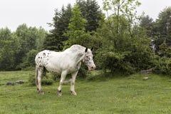 Лошадь Appaloosa пася в paddock в Haute природе Parc Пиренеи Стоковые Фотографии RF