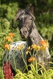 лошадь appaloosa стоковые изображения rf