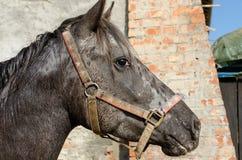Лошадь Appaloosa Стоковые Изображения