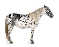 лошадь appaloosa Стоковая Фотография RF