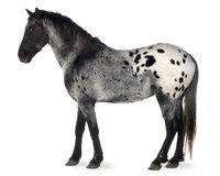 лошадь appaloosa Стоковые Фото