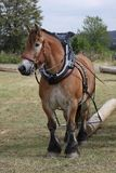 лошадь ardennes Стоковое Изображение RF