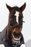 Лошадь Brown в зиме Стоковое Изображение