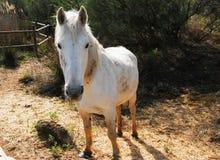Лошадь camargue малый но крепкий смотреть животной Стоковое Фото