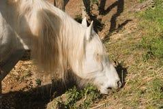 Лошадь camargue малый но крепкий смотреть животной Стоковая Фотография RF