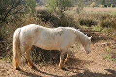 Лошадь camargue малый но крепкий смотреть животной Стоковые Фото