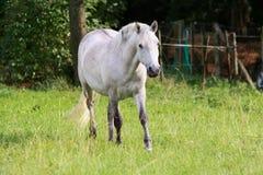 лошадь camargue Стоковая Фотография RF