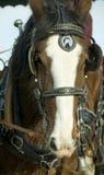 лошадь clydesdale головная Стоковое Изображение