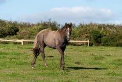 лошадь cornwall стоковая фотография