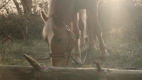 Лошадь graced детенышами коричневая пасет на траве перед концом хобота дерева вверх по замедленному движению взгляда сток-видео