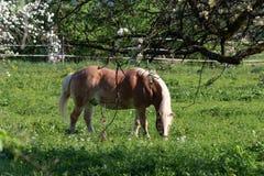 Лошадь Haflinger Стоковая Фотография