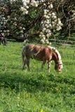 Лошадь Haflinger Стоковое Фото