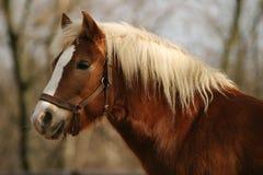 лошадь haflinger Стоковое Изображение