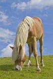 Лошадь Haflinger стоковые фотографии rf