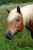 лошадь haflinger Стоковые Фото