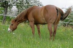 лошадь pasturing четверть стоковая фотография rf