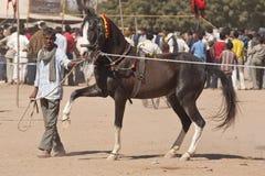 лошадь prancing Стоковая Фотография