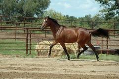 лошадь prancing Стоковая Фотография RF