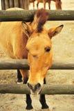 лошадь prozhivalsky Стоковое Фото