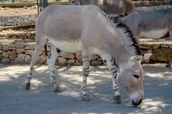Лошадь Przewalski в зоопарке Италии сафари Fasano Apulia стоковая фотография