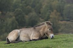 Лошадь Przewalski, przewalskii ferus Equus, портреты стоковые фотографии rf