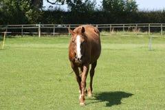 лошадь wlaking Стоковая Фотография