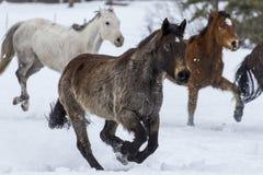 Лошади бежать в снеге стоковое изображение rf
